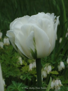 A stunning, double white tulip, symbolic to me of elegance, purity and strength.