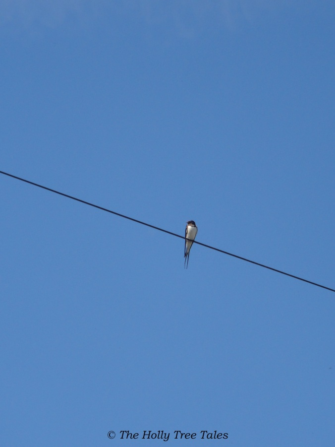 DSC01435 - THTT signed - House Martin. Blue Sky. House Martin on a Telephone Wire. (c) The Holly Tree Tales.  www.TheHollyTreeTales.com