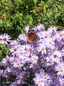 A Red Admiral butterfly sitting on asters in Autumn, which started its life earlier in the year, as a tiny caterpillar.