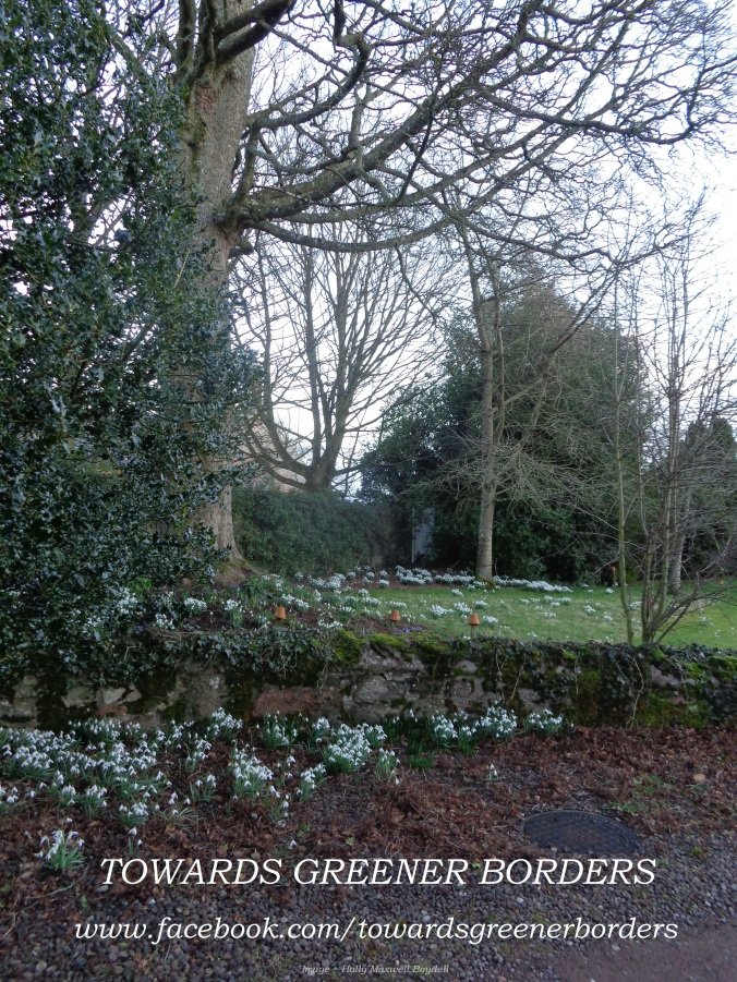 "Taken on the first day of March 2015, a glimpse of the lovely snowdrops beneath and surrounding our holly, sycamore and cherry trees at ""Towards Greener Borders HQ""."