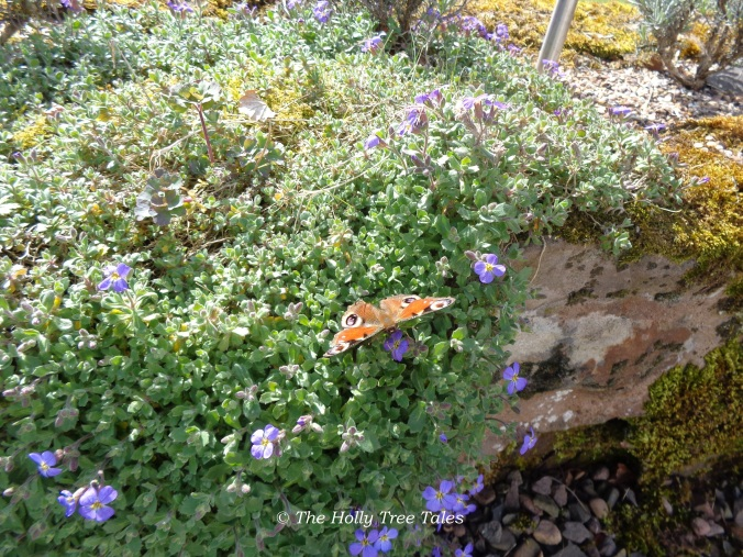 "A ""Peacock"" butterfly, the first butterfly we spotted in our garden this season, which appeared over the Easter weekend."