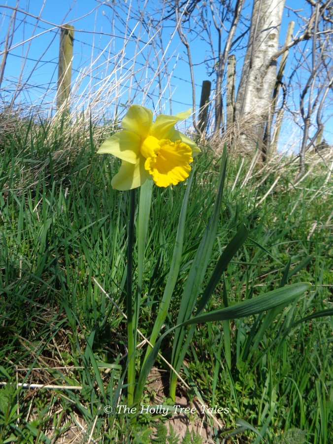DSC06699 - THTT signed. Daffodil. Narcissus. (c) The Holly Tree Tales. www.TheHollyTreeTales.com