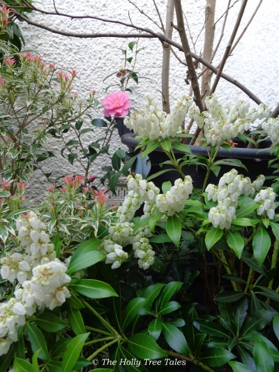 "Potted plants in a peaceful courtyard ... Magnolia stems, Pieris shrubs (one in bloom - little white bells), with first Camellia flower of the season (Camellia x williamsii ""Donation"") ... each fed with wood ash from our fireplace."