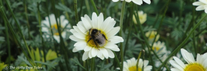 Bumblebee resting on a daisy flower, in July 2012.