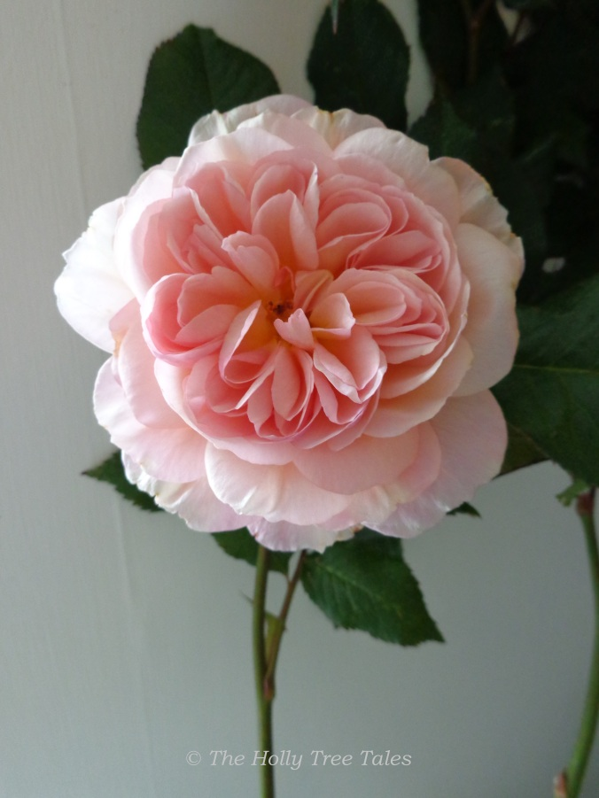 DSC08074 - A Shropshire Lad - rose open in kitchen today - 30.6.2015 - THTT signed