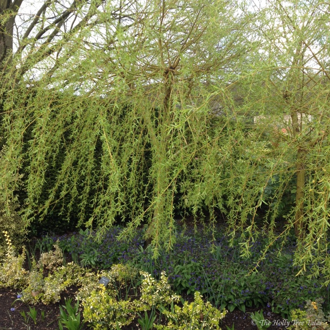Garden. Spring. Willow tree. Salix. (c) The Holly Tree Tales.  www.TheHollyTreeTales.com