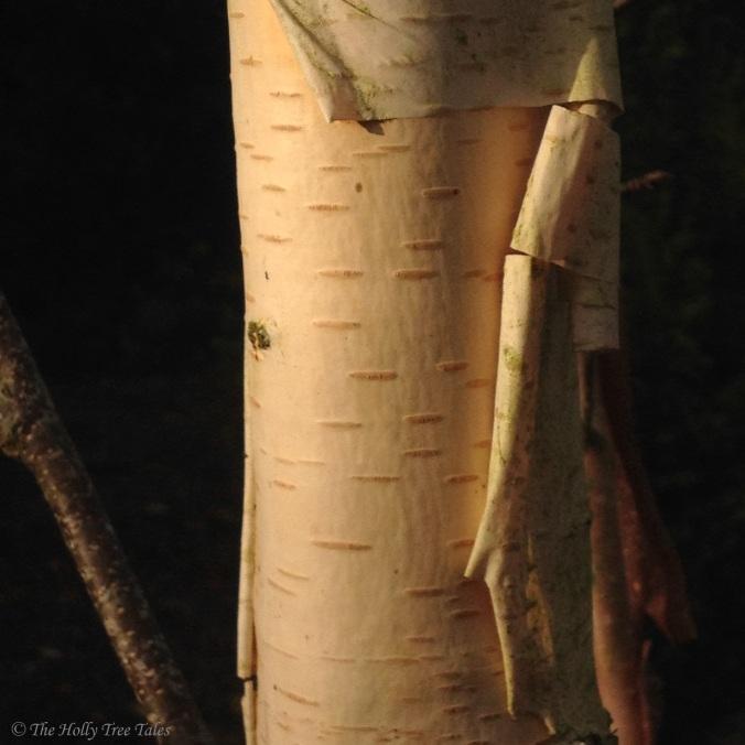 IMG_5181 - THTT signed. Birch. Tree. Bark. Birch bark.