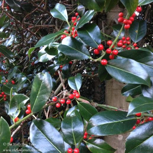 IMG_5078 - THTT.com signed. Holly. The Holly Tree Tales. Holly Tree. Holly leaves + berries. The Holly Tree Tales.com.