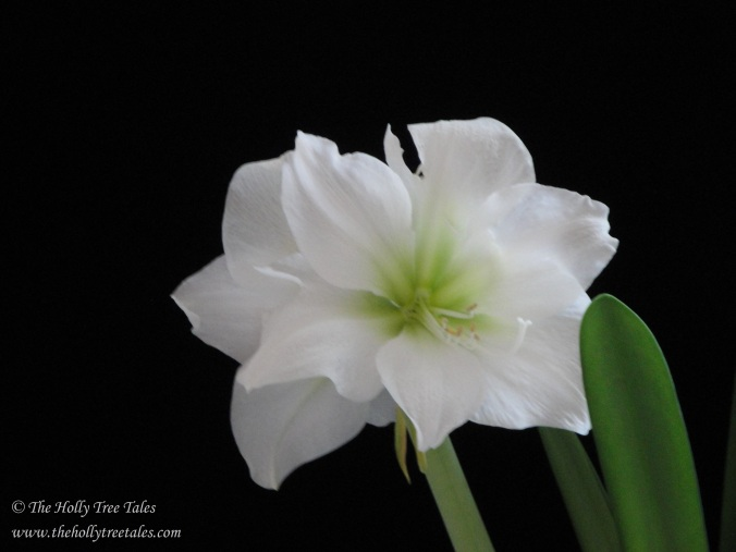 DSC00447 - © Holly M Maxwell Boydell - The Holly Tree Tales - White Amaryllis against black velvet.