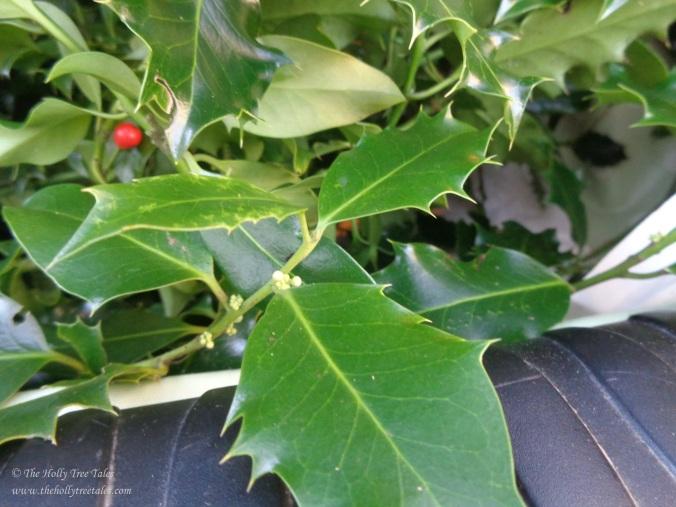 DSC08768 - Holly - ilex aquifolium - THTT signed