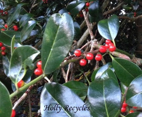 img_5078 - holly - ilex aquifolium - (c) Holly Recycles - via www.TheHollyTreeTales.com