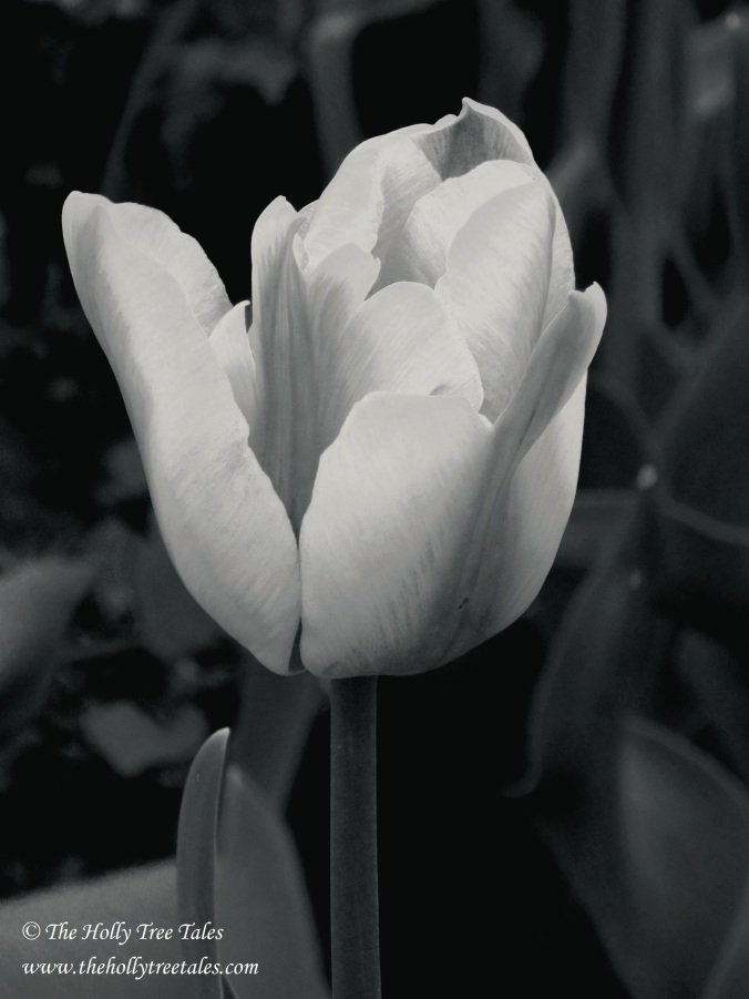 DSC00588 - Tulip - by Holly Maxwell Boydell - (c) www.TheHollyTreeTales.com  - Black and White. Tulip Blooming, Emerging. Release.