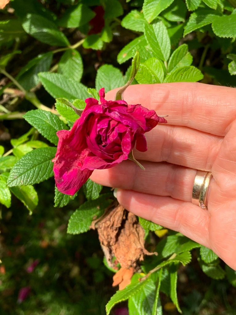 "Rose.  Rosa rugosa ""Roseraie De L'Hay"".  (c) Holly Maxwell Boydell www.TheHollyTreeTales.com"